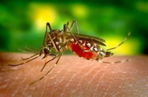 This 2005 photograph depicts a female Aedes aegypti mosquito, which is the primary vector for the spread of Dengue fever. The virus that causes Dengue is maintained in the mosquito?s life cycle, and involves humans, to whom the virus is transmitted when bitten. The female mosquito pictured here, was shown as she was obtaining a blood meal by inserting the feeding stylet through the skin, and into a blood vessel. Blood can be seen being drawn up through the stylet, and into the mosquito?s mouth.